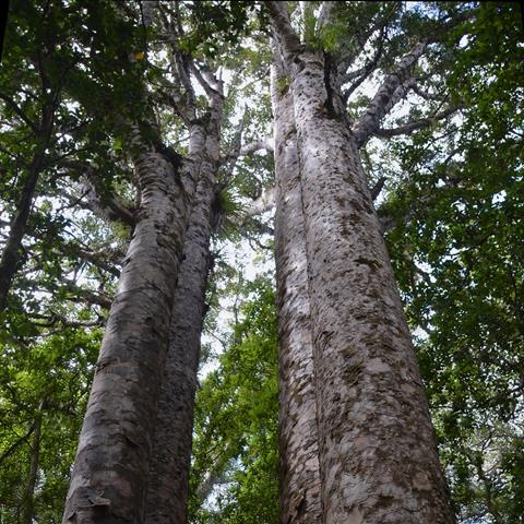 Four Sister Kauri Trees. ©Nir Ketraru