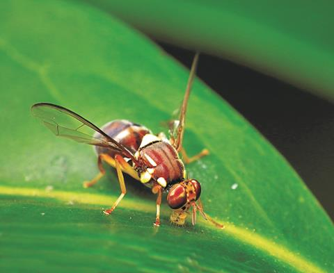 Queensland fruit fly on a leaf