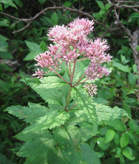 Joe-pye weed, a plant with a cluster of small purple flowers