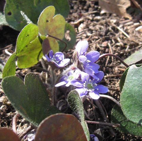 Small purple flower (hepatica)