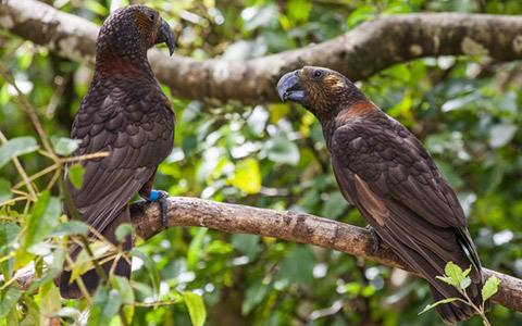 Two kākā resting on a branch.