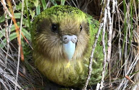 Kākāpō t-shirt design competition