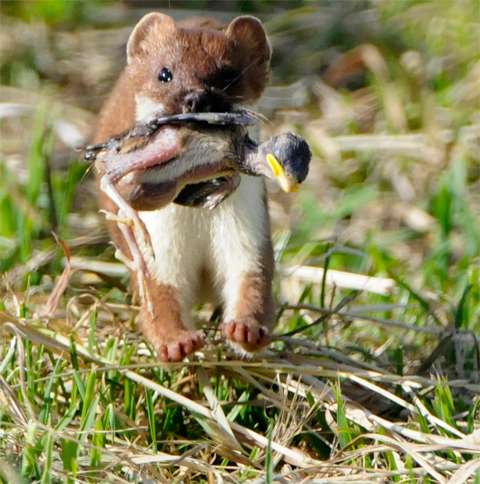 Stoat with chick. Image: David Hallett ©