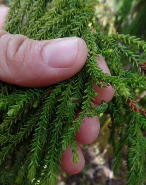 Close up of rimu showing very little fruit