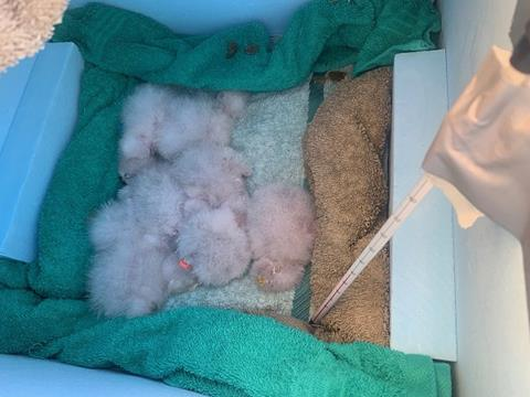Whenua Hou chicks ready to be transferred to Dunedin Wildlife Hospital. Photo by A.Digby