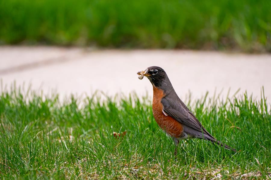 Robin with grub
