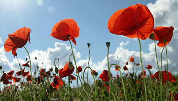 Poppies in a field.