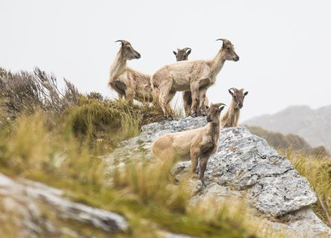 A group of Himilayan tahr on conservation land. Photo:Dylan Higgison