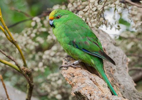 Orange fronted parakeet.