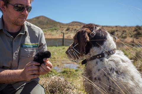 TakahēConservation Dog Yuki successfully locates a takahē chick for fostering. Photo by J. Reardon