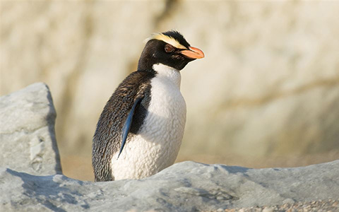 Fiordland crested penguin.