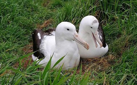 Northern royal albatross pair.