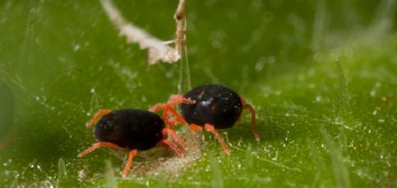 Red legged earth mite