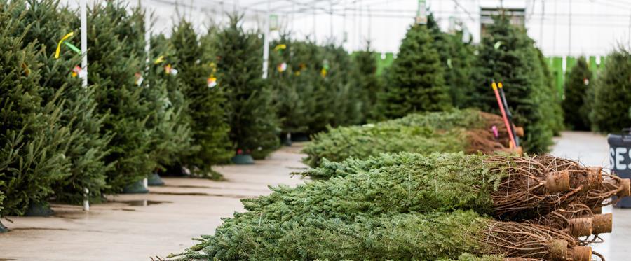 Arrington Garden Centre & Cafe Christmas Trees Newsletter