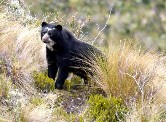 Spectacled Bear at Antinsanilla. © Fundación Jocotoco.