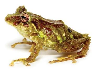 Yánez Rain Frog. © Navarette et al, 2016.