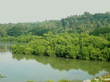 Mangroves in the Thalassery river basin. © Ks.mini, WikiMedia.