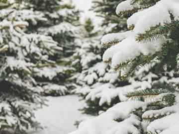 Fir branches covered in snow. Image courtesy of Shutterstock. © Vadim Georgiev.