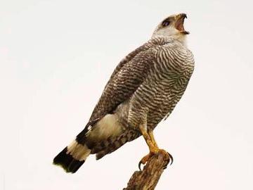 Grey-backed Hawk. © Fundación Pro-Bosque.