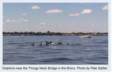 Dolphins near the Throgs Neck Bridge in the Bronx. Photo by Pete Sattler