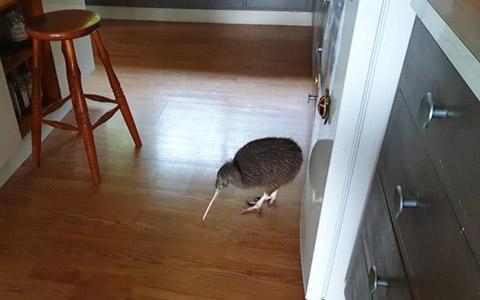 Kiwi in kitchen.