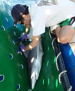 Fisheries scientist leaning over and tagging a shark